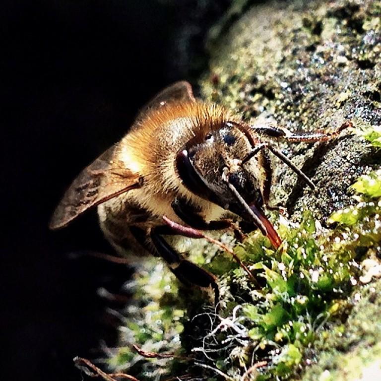 Großaufnahme einer Biene
